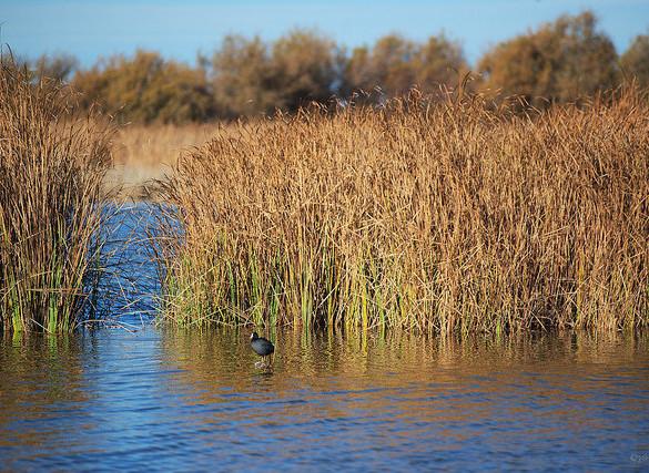Se confirma el descenso de aves acuáticas en las Tablas de Daimiel