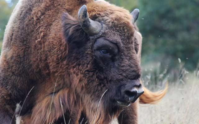 Un Bisonte en Bison Bonasus en San Cebrián de Mudá, Palencia