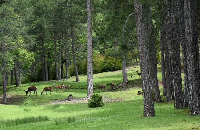 Manada de Ciervos en el Parque de El Hosquillo en Las Majadas, Cuenca