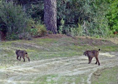 Doñana cuenta con 5 nuevos linces ibéricos