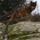Ecologistas en Acción denuncia caza ilegal de lobos en Picos de Europa