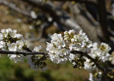 El Valle de Jerte se tiñe de blanco con sus cerezos