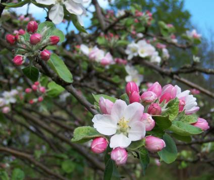 flor-manzano-asturias