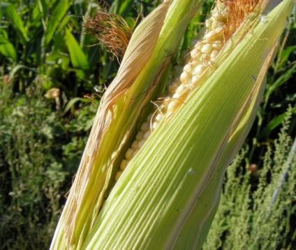 mazorca-maiz
