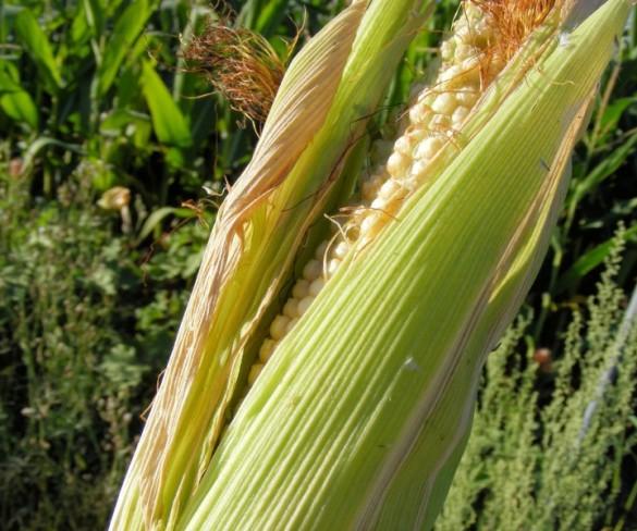 El maíz autóctono en el Festival de la Borona