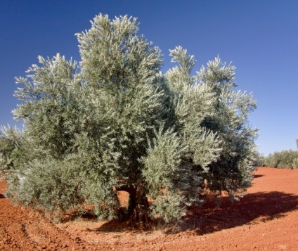 olivo-castilla-lamancha