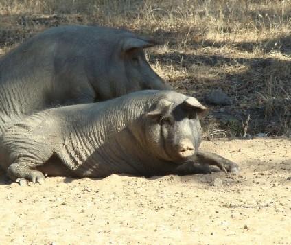 sierra-aracena-cerdos