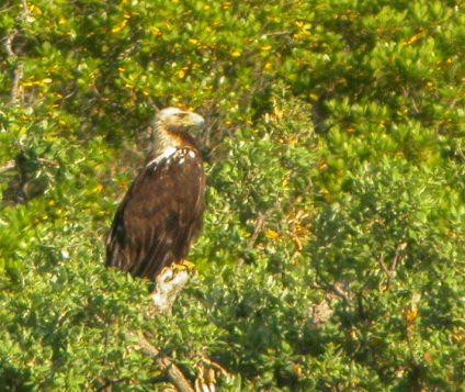 Águila Imperial Ibérica recogida en Muel - naturaleza