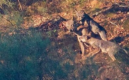 cachorros lobo iberico