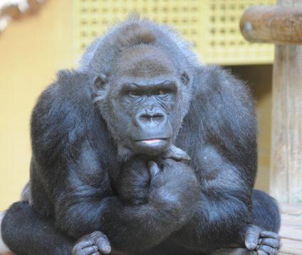 Cabárceno da la bienvenida a un nuevo gorila - naturaleza