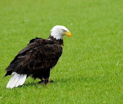 Águila Calva en Tierra Rapaz, Calahorra