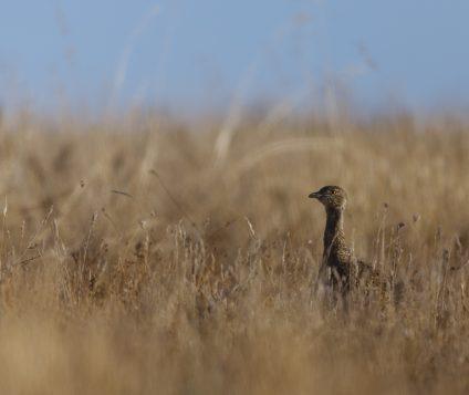 El Sisón, un ave en declive en Aragón - naturaleza