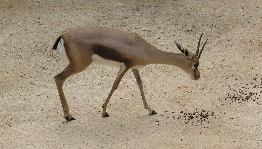 Nace una Gacela Mhorr en el Bioparc de Valencia
