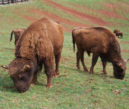 Nace en Huesca la primera cría de bisonte europeo - naturaleza