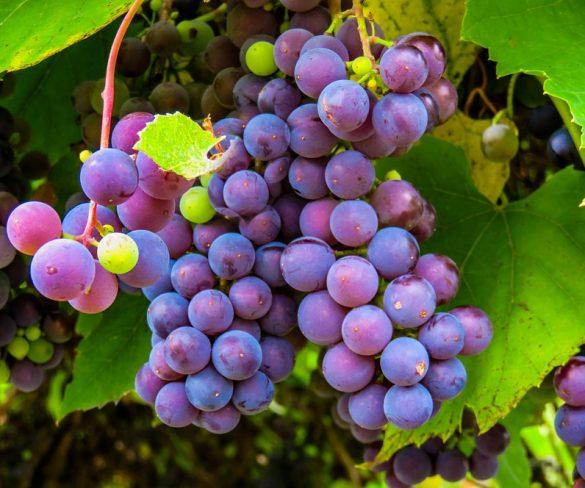 La Denominación de Origen Méntrida presenta las nuevas variedades de vinos - gastronomia-restaurantes