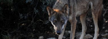 Diversas asociaciones emiten un comunicado sobre la eliminación de lobos en los Picos de Europa - naturaleza, centenario-picos-de-europa
