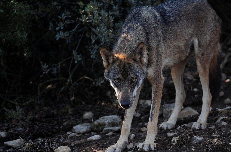 Diversas asociaciones emiten un comunicado sobre la eliminación de lobos en los Picos de Europa