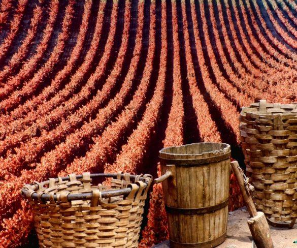 La D.O. Ribeira Sacra prevé disponer de 6 millones de kilos de uva. - gastronomia-restaurantes