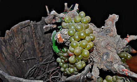 Comienza la vendimia de la DO Sierra de Salamanca