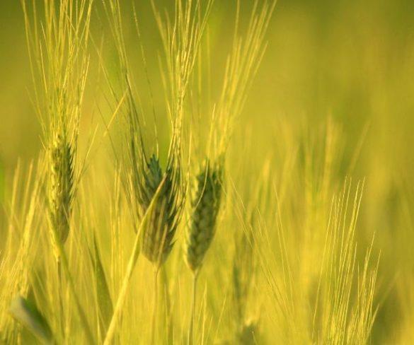 Castilla- La Mancha sustituye las espigas por las Estrellas Verdes