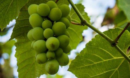 Bodegas Bilbainas consigue una herramienta para predecir la calidad y cantidad de las uvas