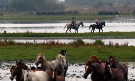 1200 cabezas de ganado en la  tradicional Saca de las Yeguas